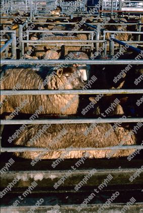 Sheep Sale, Norwich Cattle Market 1990, Norfolk, England, UK, - stmphoto 180734