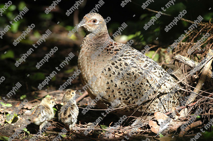 Pheasant with two chicks3854 